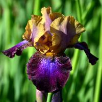 Iris  'Parting Glances' - Iris