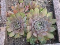 Houseleek Sempervivum hybridum  'Bottle of Griotte'