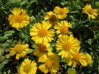 gailliardia Gaillardia aristata  'Mesa Yellow'