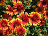 gailliardia Gaillardia aristata  'Arizona Sun'