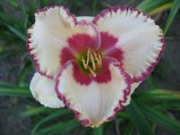 (Hemerocallis hybrida) Denivka Ageless Beauty