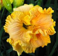 Hemerocallis 'Bonnie Holley'  Daylily flowers