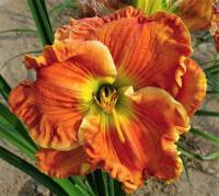 Daylily Hemerocallis  'Texas Big Bend'