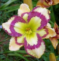 Hemerocallis 'Violet Stained Glass'  Daylily flowers