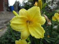 Hemerocallis 'Happy Returns'  Daylily flowers