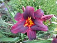 (Hemerocallis hybrida) Denivka Sweet Hot Chocolate