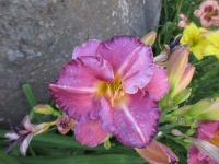 (Hemerocallis hybrida) Denivka Evening Rose