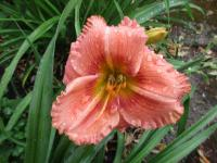 (Hemerocallis hybrida) Denivka Forsyth Hot Lips