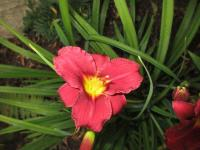 Hemerocallis  'Siloam Red Toy' - Daylily