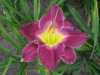Hemerocallis  'African Grape' - Daylily