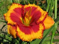 Hemerocallis  'Andy Candy' - Daylily