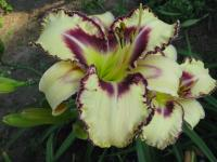 Hemerocallis  'Angel Fairy Tern' - Daylily