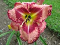 Hemerocallis  'Believe in Miracles'  Daylily flowers