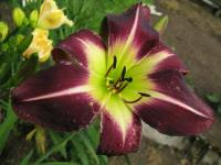 Hemerocallis  'Cameroon Nights' - Daylily