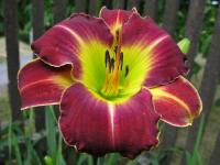 Hemerocallis  'Candlelight and Cabernet' - Daylily