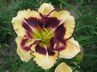 Hemerocallis 'Christopher Moody'  Daylily flowers