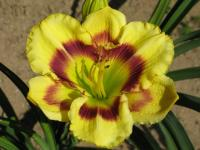 Hemerocallis 'Isle of Zanzibar'  Daylily flowers