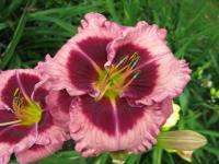 Hemerocallis  'Macbeth' - Daylily