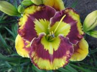 Hemerocallis  'New Paradigm' - Daylily