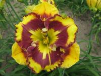 (Hemerocallis hybrida) Denivka New Paradigm