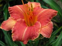 Daylily Hemerocallis  'Pretty Fancy'