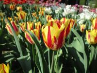 Tulipa   'Color Spectacle'  Tulip flowers