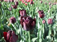 Tulipa    'Black Diamond'  Tulip plant