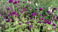 Gomphrena globosa   common globe amaranth flowers