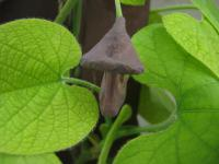 Aristolochia macrophylla   Dutchman's pipe flowers