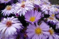 Aster dumosus   Rice Button Aster flowers