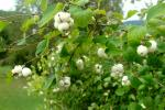 Symphoricarpos albus   Common Snowberry twings