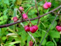 Euonymus europaeus   Spindle fruits
