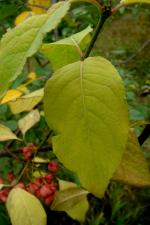 Euonymus europaeus   Spindle leaves
