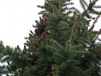 Picea pungens  'Glauca'  Colorado Spruce plant