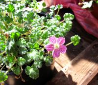 Pumpava Bishops Form (Erodium variabile)