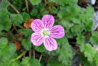 Pumpava (Erodium variabile)