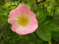 Rosa canina   dog rose flowers