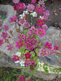 Saxifraga x arendsii 'Blütenteppich'  Rockfoil plant