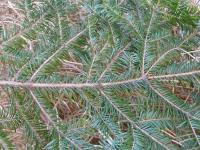 Abies alba   European silver twings