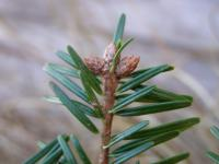 Abies alba   European silver buds