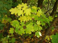 Acer platanoides   Norway maple leaves