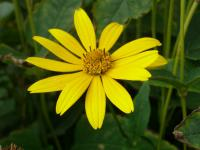 Heliopsis helianthoides   smooth oxeye flowers