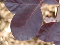 Ruj vlasatá Royal Purple (Cotinus coggygria)