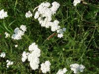 Achillea millefolium   - common yarrow