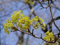 Acer platanoides   Norway maple flowers