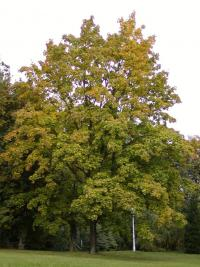 Acer platanoides   Norway maple plant