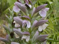 Acanthus mollis   bear's breech flowers