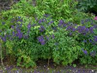 Aconitum napellus   - monkshood