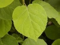 Hydrangea arborescens   Smooth Hydrangea leaves front face
