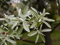 Elaeagnus angustifolia   Russian olive leaves